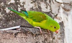 Periquito Rico Brotogeris viridissimus