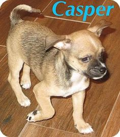 Fort Wayne, IN - Chihuahua Mix. Meet Casper, a puppy for adoption. http://www.adoptapet.com/pet/17358535-fort-wayne-indiana-chihuahua-mix