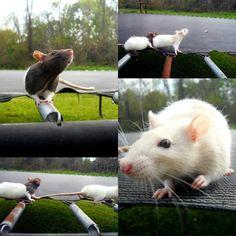 rats <3 trampolines
