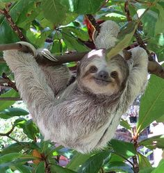 "for me the "" livin"" is easy"".for me the "" livin"" is easy"". Cute Baby Sloths, Cute Sloth, Baby Otters, Amazing Animals, Animals Beautiful, Cute Little Animals, Cute Funny Animals, Mundo Animal, My Spirit Animal"