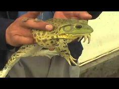 Crían ranas nutritivas y afrodisíacas en Edomex - YouTube