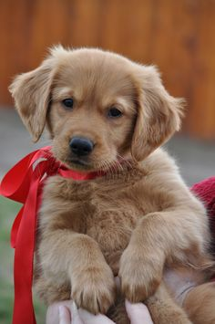 I want one! Maybe! For a day!-------Golden Retriever Puppy