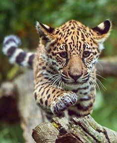 Baby leopard -- plasmatics-life: On Expedition ~ By Johannes Wapelhorst Big Cats, Cats And Kittens, Cute Cats, Nature Animals, Animals And Pets, Beautiful Cats, Animals Beautiful, Cute Baby Animals, Funny Animals