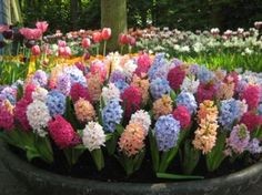 (EDEN BROTHERS) All of our best selling hyacinth bulbs in one great mix. Sweet-scented, Hyacinth Bulbs can be planted outside in rows or as borders, and can also be grown inside in containers. Resistant to deer, squirrels, rabbits, and rodents. Plant our Mixed Colors Collection of hyacinth bulbs in full sun or partial shade. http://www.edenbrothers.com/store/hyacinth_carnegie_bulb.html