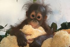 Baby orangutan clings to teddy after its mum is hacked to death with machete Cute Baby Animals, Animals And Pets, Funny Animals, Beautiful Creatures, Animals Beautiful, Baby Orangutan, Ape Monkey, Little Monkeys, Cute Animal Pictures