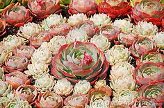 Pink hens and chicks by Iperl, via Dreamstime