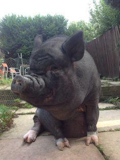 Francie Pig