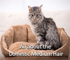 All About The Domestic Medium Hair Cat Breeds Breeds Luxury Cat