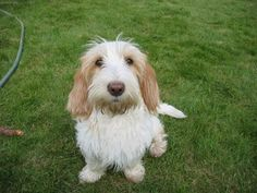Yeah! We have this kind of dog: petit basset griffon vendeen