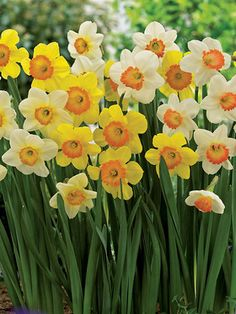 Daffodil Peach Cobbler (Narcissus) Photo of Beautiful Blend Daffodil Afternoon Delight Spring Plants, Spring Flowers, Rock Wall Gardens, Deer Resistant Perennials, Afternoon Delight, Cobbler, Daffodils, Garden Design, Peach