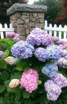 Hydrangeas on Cape Cod