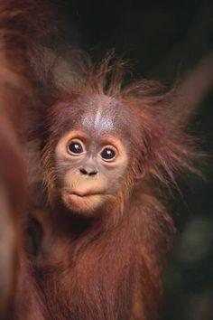 Photographic Print: Orangutan Baby by DLILLC : 24x16in