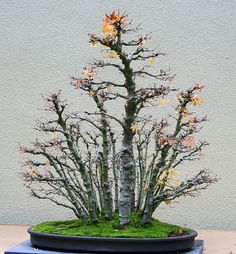 Bonsai Forest, Bonsai Art, Forest Garden, Bonsai Plants, Bonsai Garden, Tree Forest, Redwood Bonsai, Indoor Bonsai Tree, Plantas Bonsai