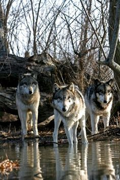 Find images and videos about nature, animal and wolf on We Heart It - the app to get lost in what you love. Wolf Photos, Wolf Pictures, Beautiful Creatures, Animals Beautiful, Cute Animals, Wolf Spirit, Spirit Animal, Tier Wolf, Malamute