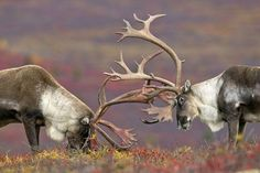 Caribou bulls spar on the Alaskan tundra Photo by Erik Ruf -- National Geographic Your Shot