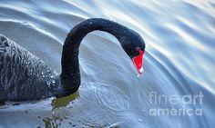 #BLACK #SWAN #Aquatic #Bird #Photography Quality Prints and Cards at:  http://kaye-menner.artistwebsites.com/featured/1-black-swan-kaye-menner.html  -