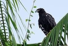 Black Hawk-Eagles are secretive birds that perch low on trees and use their amber eyes to hunt for birds, mammals and reptiles such as squirrels, bats, iguanas and snakes.