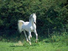 White Horse Pictures Only | white horse enters the scene.