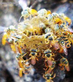 entrada da colmeia da abelhinha sem ferrão