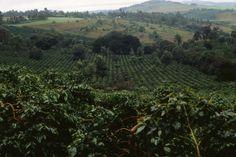 Coffee_plantation_in_Tanzania.jpg (1200×800)