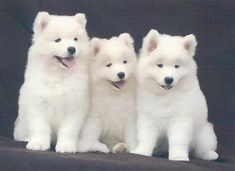 Samoyed puppies. Tell me these aren't the cutest things you've ever seen.