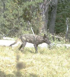 SACRAMENTO — At least to an extent, wolf and ranching advocates agreed on one thing during a Feb. 1 workshop on California's proposed gray wolf management plan.Both sides said their goal was for wolves to flourish without posing a threat to livestock.Karin Vardaman, who leads a wolf re