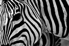Zebra by -LucaM- Photography WWW.LUCAMOGLIA.IT, via Flickr