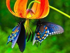 2 vlinders die naar elkaar toe vliegen staat symbool voor een blijde ontmoeting, de vreugdedans.