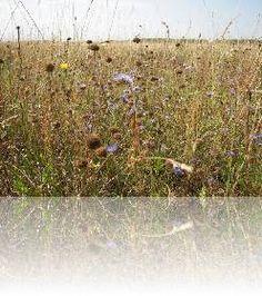 Ecoflora: mengsels voor vaste bloemenweide per soort