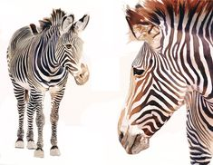 """Zebra Pair"" Watercolor Wildlife Art by Paul Jackson"