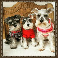 My babys, Salt and pepper, Silver and Black miniature schnauzers / mini schnauzers / schnauzer puppys Link: https://www.sunfrog.com/search/?64708&search=schnauzer&cID=62&schTrmFilter=sales