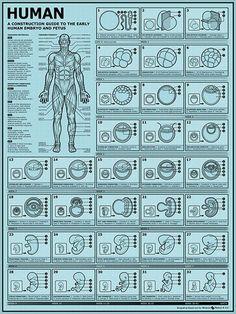Embryonic & Fetal Development – NerdcoreMedical