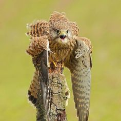 Angry Owl Photo by @leefisher_wildlife  #wildlifeowners by wildlifeowners
