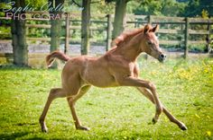 Arabian foal – Equine Photoshoot, Essex   Sophie Callahan Photography - Specialist equine photographerww.facebook.com/SophieCallahanPhotos