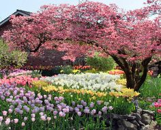 .Love tulips and flowering trees~