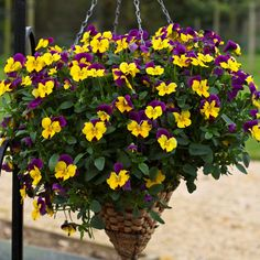 Huge selection of compact and trailing pansies, many unique colors. Pansies bring cool season color to flower beds and pots. America's favorite flower for cool season color. Viola x wittrockiana. Winter Hanging Baskets, Hanging Flower Baskets, Hanging Pots, Fake Flowers, Purple Flowers, Beautiful Flowers, Autumn Garden, Summer Garden, Flower Seeds