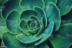 Background of Succulent Echeveria A close-up background of the Succulent plant Echeveria in soft tones. Green Color Stock Photo Abstract Photos, Echeveria, Planting Succulents, Image Now, Green Colors, Close Up, Royalty Free Stock Photos, Exterior, Plants