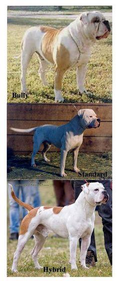 American Bulldog types   via Facebook, Standard American Bulldogs