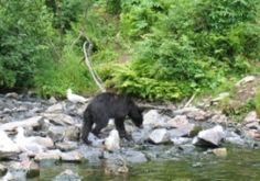 Bear, Unguided Activities, Kenai, Alaska, www.captainblighs.com