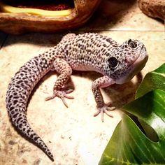 Personable leopard gecko