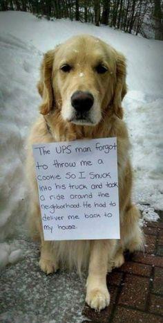 """Dog shaming"" a golden retriever :d "" Funny Dog Videos, Funny Animal Memes, Dog Memes, Funny Animal Pictures, Funny Animals, Cute Animals, Funny Memes, Funniest Memes, Memes Humor"