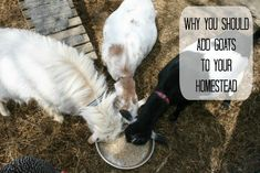 Reasons to have Goats on Your Homestead or Backyard Farm.