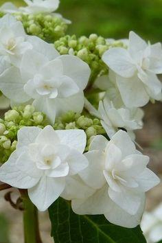 Strawberry Hydrangea, Types Of Hydrangeas, Hydrangea Bush, Plants For Sale Online, Large Plants, Plant Nursery, Plant Sale, Landscaping Plants, Growing Plants