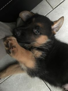 Free Puppies For Adoption, Puppies Near Me, Buy Puppies, Teacup Puppies, Cute Dogs And Puppies, Pet Dogs, Adorable Puppies, Cheap Puppies For Sale, Puppy Supplies