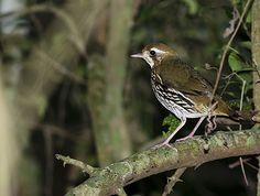 Foto tovaca-campainha (Chamaeza campanisona) por Cal Martins | Wiki Aves - A Enciclopédia das Aves do Brasil