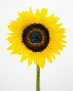 How to Paint a Sunflower With Acrylics
