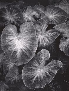 Leaves, Foster Gardens, Honolulu, Hawaii (1957-1958)