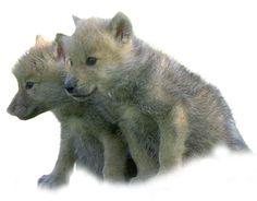 małe wilki