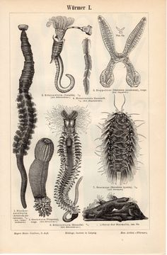 1897 Antique Worms Print, Seaworms, Arenicola Marina, Sandworm, Marine Species, Parasits, Trichinella, German Lithograph
