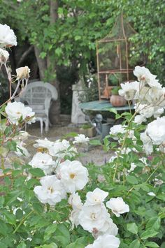 White floribunda roses create a secret garden when they are in full bloom